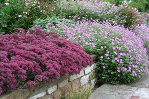 Sedums spaced to great effect. Photo / Supplied
