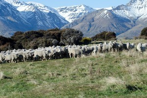 Some 200 in-lamb merino ewes were stolen from a station in Otago. Photo / file