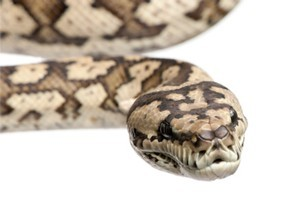 A carpet python was used as a weapon by a drunk New Zealand man, police say. Photo / Thinkstock