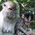 Macaque monkeys. Photo / Jim Eagles