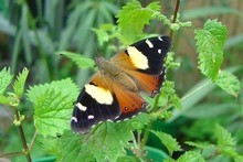 Seldom seen today, the native Yellow Admiral butterfly needs stinging nettles, so plant them please. Photo / Angela Gibbons