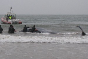 Department of Conservation staff battle rough seas and on-shore winds in their effort to prevent the whale from coming ashore. Photo / Department of Conservation