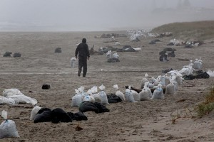 A resident walks past bags full of oil cleaned up from Tay Street Beach near Mt Maunganui, after it washed up from the container ship Rena. Photo / Brett Phibbs