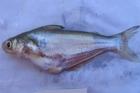 Basa, the Vietnamese catfish. Photo / Supplied