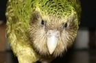 The engagingly cheeky kakapo Sirocco. Photo / Supplied