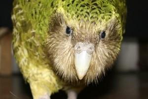 The engagingly cheeky kakapo Sirocco. Photo / Supplied