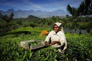 A tea cutter at work in laid-back Kerala, India. Photo / Singapore Airlines