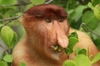 A male proboscis monkey eats his supper. Males have larger noses than their female counterparts in order to attract mates and to make more of a racket with when needed. Photo / Mick Fogg