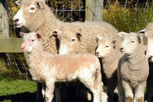 The geep (front) has a lamb's body and a goat's head, legs and bleat. Photo / Otago Daily Times