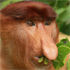 A male proboscis monkey in mangrove trees. Photo / Mick Fogg