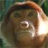 A female proboscis monkey feeding in the jungle. Photo / Jim Eagles