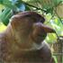A proboscis monkey in the jungle. Photo / Jim Eagles