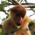 A proboscis monkey enjoys an evening meal. Photo / Jim Eagles