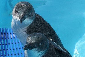 It is breeding season for the little blue penguins which has made recovery efforts that much harder. Photo / Alan Gibson