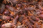 About 300 tonnes of crayfish like these 'reds' are exported from the Chathams each year. Photo / Geoff Thomas