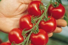 Justin Newcombe and his family plant several varieties of tomato for summer eating. Photo / Supplied