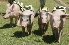 Pig racing at the Katikati A & P Show. Photo / Bay of Plenty Times