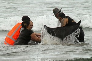 One of two whales is comforted by rescuers in waist-deep water at Papamoa Beach today. Photo / Alan Gibson.