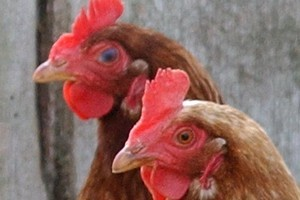 Chickens may be happier being free-range but their eggs still hold the same nutritional content. Photo / Rotorua Daily Post