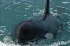 Orcas. Photo / Dr Ingrid Visser