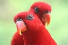 Red Lorikeets. Photo / Supplied