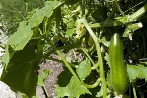 Climbing cucumber plant. Photo / NZ Listener