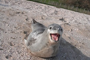 Beachgoers are warned to steer clear of this Antarctic leopard seal, spotted in several places around Auckland. Photo / Supplied