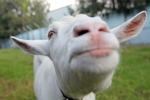 A strange wailing revealed to be that of a kid got Wendyl Nissen pondering the benefits of having her own inner-city goat. Photo / Thinkstock