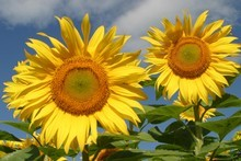 Brighten up your garden with sunflowers. Photo / Te Awamutu Courier