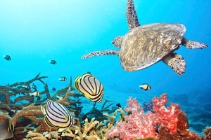 The El Nino of 1998 caused sea temperatures to rise temporarily, resulting in the death of a great deal of the Maldives' coral, but in many areas it is starting to grow back. Photo / Thinkstock