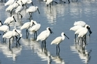 Spoonbills feeding in the Manukau Harbour between Ambury Regional Park and Puketutu Island. Photo / Martin Sykes