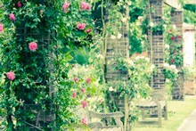 Climbing roses are a great way to get your vertical garden going.