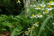 Comfrey and chamomile planted in a herbal ley underneath a pear tree encourage better growth. Photo / Meg Liptrot