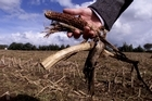 This suspect maize crop was destroyed. File photo / NZ Herald