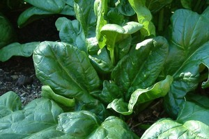 Spinach has quite delicate roots, so avoid lumpy clay soil. Photo / Supplied