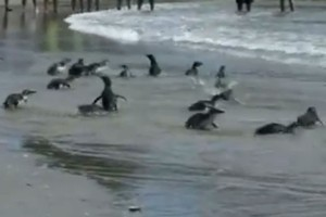 In this image from footage shot by the Bay of Plenty Council some of the penguins race for the water. Photo / BoP Council