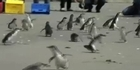 Watch: Rescued Rena penguins released