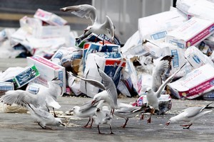 Seagulls fight over a container's decaying contents. Photo / Christine Cornege