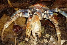 Coconut crab is a rare delicacy that's getting rarer by the day, a factor that seems not to concern one chef in Vanuatu. Photo / Supplied 