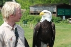 A bald eagle eyes up its handler in the Valley of the Eagles. Photo / Jim Eagles.