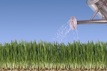 Do overhead watering before sunrise and after sunset. Photo / Thinkstock