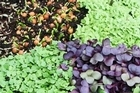 There are a spectacular variety of microgreens to grow. Photo / Bay of Plenty Times
