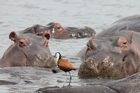 Wallowing hippos. Photo / Jill Worrall