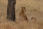 A lioness prospecting for her next meal. Photo / Jill Worrall