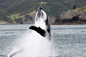 A humpback whale mother and calf had tourists excited in the Bay of Islands. Photo / Gemma Langsdale