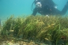 Artificial seagrass, used to promote population growth in snapper. Photo / Supplied