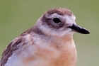 A New Zealand Dotterel. Photo / Richard Robinson