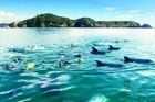 Keen swimmers are able to get in the water with the dolphins on the Fullers Great Sights Dolphin Cruise. Photo / Supplied