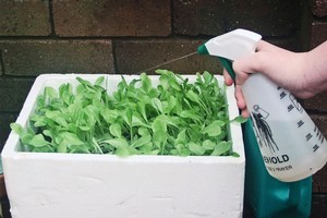 It's not too late to grow another crop with Yates' lettuce seeds which are easy to grow if kept well watered. Photo / Supplied