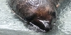 View: Beaten baby fur seal